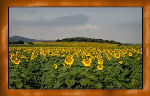 """Sunflowers"" © 2008 Alegría Studio. All rights reserved"
